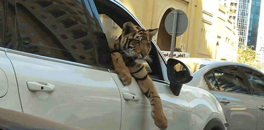 tigre no carro