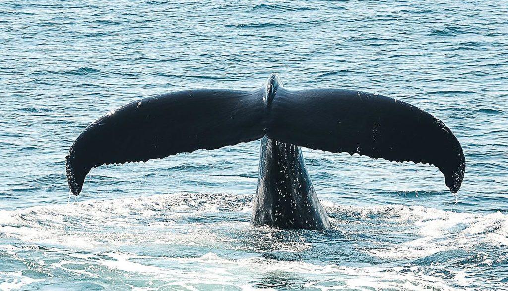 calda da baleia
