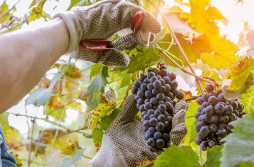 Um cacho de uva sendo colhido com uma tesoura