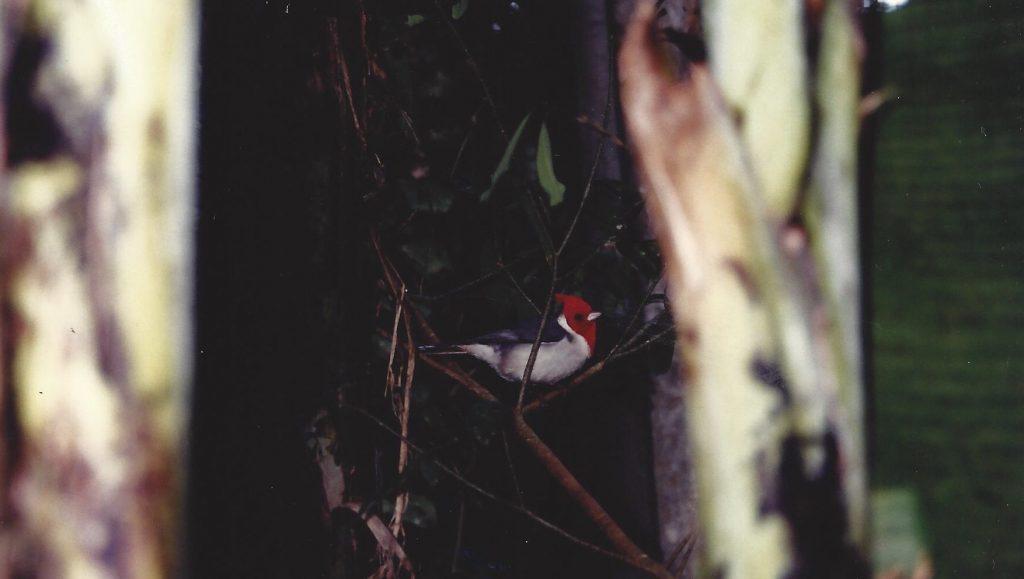 Pássaro de cabeça vermelha no galho da árvore
