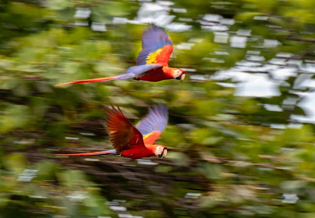 2 Araras vermelhas voando