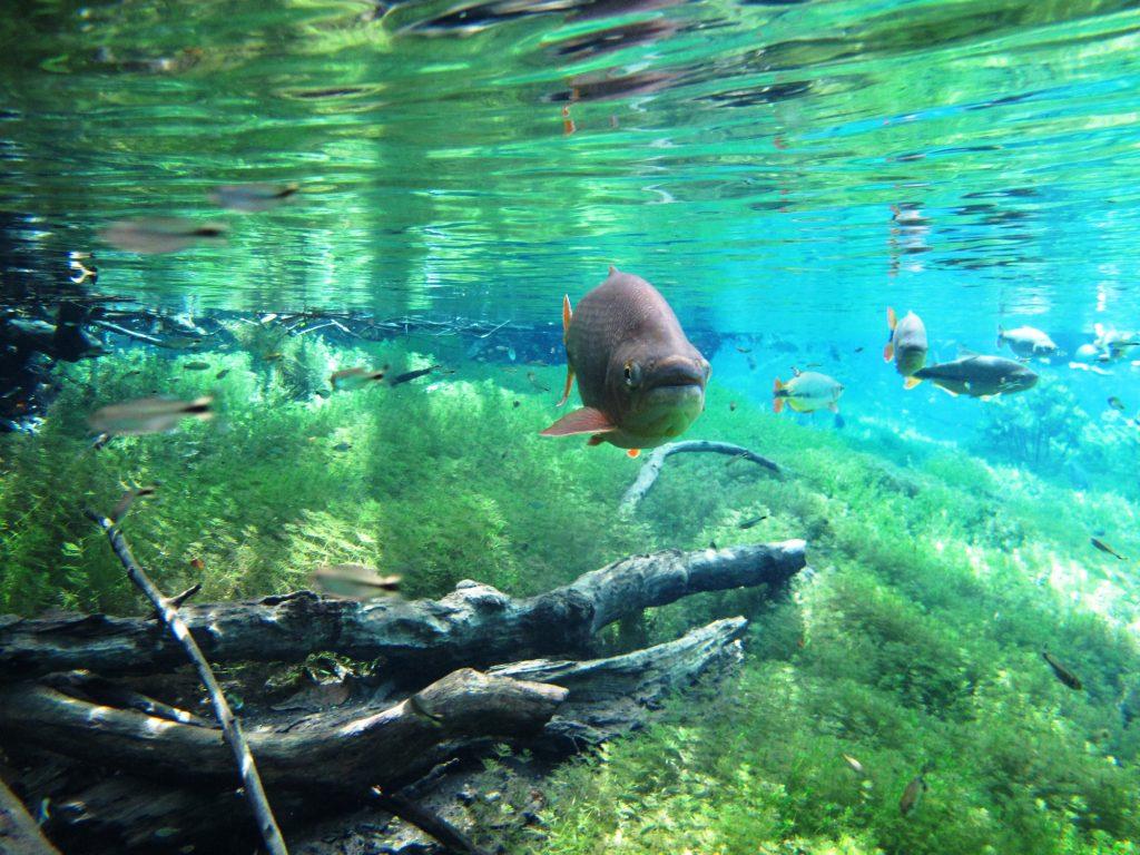 Foto submersa no rio mostrando alguns peixes