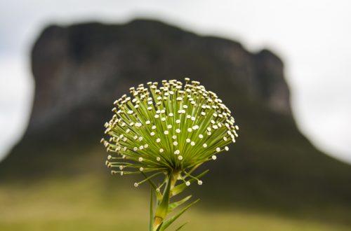 Foto da planta sempre viva e ao fndo borrado o morro